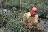 Tanaman sayuran di Purbalingga terserang jamur
