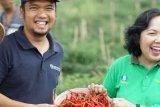 Petani Binaan BI di Kampar Panen Cabai Keriting 2,4 Ton per Minggu