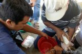 Four species of local rare  fish bred in Solok Selatan