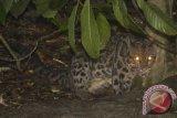 Sejumlah macan tutul tertangkap kamera di taman nasional