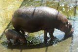 Di Taman Nasional Ethiopia, 28 kuda nil mati secara misterius