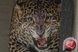 BKSDA lepasliarkan macan tutul ke Gunung Tilu