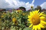 Inilah kebun bunga matahari yang tumbuh mekar di taman sains pertanian Solok