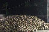 Kotamobagu ekspor kopra putih ke India
