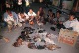 Polres Tolitoli gerebek judi sabung ayam, 10 pelaku ditahan