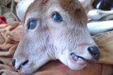 Anak sapi berkepala dua sempat diberi susu bubuk