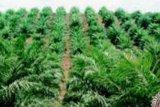 Asian Agri Remajakan 560 Hektare Sawit Plasma