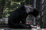 Buntut Beruang Madu Terperangkap, BBKSDA Riau Imbau Masyarakat Tidak Gunakan Jerat Babi
