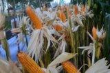 Indonesia tak perlu impor benih jagung