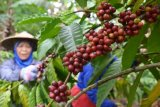Magelang kembangkan tumpangsari kopi-hortikultura
