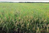 Pemprov Papua segera ekspor 70 ton beras ke PNG