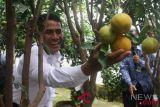 Mentan bagikan sejuta bibit jeruk keprok di Malang