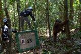 10 orangutan dilepasliarkan ke Taman Nasional