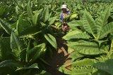 Sering dibodohi, petani Temanggung minta pembelian tembakau secara tunai