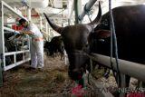 11.000 sapi dari NTT untuk kebutuhan Idul Adha di Jakarta dan Kalimantan
