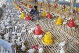 Pengembangan industri ternak ayam di NTT masih sulit