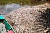 Ribuan ikan mati di Sungai Seranau Kotim, ada apa?
