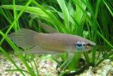 Ikan cupang berpotensi  tingkatkan perekonomian masyarakat