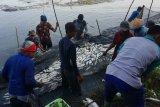 Perlu diketahui petambak, suhu dingin pengaruhi nafsu makan ikan bandeng