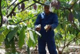Produksi kakao Luwu turun akibat pupuk minim