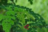 DPRD NTT dukung pengembangan tanaman kelor