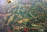 DKP targetkan tebar 2.800 benih ikan karapu