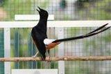 Peraturan baru, burung murai, jalak, cucak rawa tidak lagi dilindungi