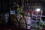 Harimau Sumatera yang mati terjerat kawat ternyata dalam keadaan bunting