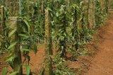 Perusahaan Belgia bakal investasi vanili di NTT