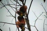 Aktivis flora dan fauna serukan pelestarian spesies burung endemik di Raja Ampat