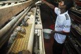 Peternak memberi pakan untuk burung puyuh di Kampung Pasir Honje, Desa Cibeber 2, Leuwiliang, Kabupaten Bogor, Jawa Barat, Jum'at (19/10/2018). Peternak mengeluhkan tingginya harga pakan burung puyuh dari Rp307 ribu menjadi Rp.315 ribu per bal sementara harga telur malah turun dari Rp300 per butir menjadi Rp280 per butir. ANTARA JABAR/Arif Firmansyah/agr.