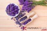 Peneliti konfirmasi ar oma lavender bisa atasi kecemasan