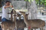 Jumlah rusa Taman  Balekambang tak ideal, warga boleh pelihara