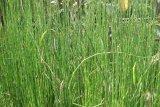 Tanaman Bambu Air menjadi pilihan penggemar tanaman hias