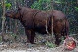Melacak keberadaan badak Sumatera di Mahakam