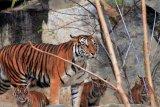 Empat anak harimau Sumatera diperkenalkan di Kebun Binatang Tierpark, Jerman