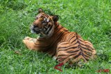 Forest fires drive Sumatran tiger from habitats