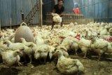 Peternak ayam bagikan hasil panen ke warga