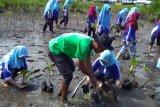 Mahasiswa ikut tanam mangrove di Pariaman