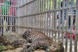 Macan tutul hutan Gunung Lawu masuk perangkap