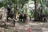 Mahout mengunggangi Gajah jinak Balai Konservasi Sumber Data Alam (BKSDA) Aceh mengikat gajah liar betina (tengah) yang berhasil ditangkap di Desa Tangga Besi, Kota Subulussalam, Aceh, Sabtu (8/12/2018). BKSDA Aceh mengerahkan lima ekor gajah jinak untuk memindahkan seekor gajah betina yang diperkirakan terjebak di kawasan perkebunan sawit sejak lima tahun terakhir. (Antara Aceh/Irwansyah Putra)