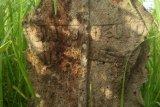 Pemakaman kuno ditemukan kembali di Lombok Tengah