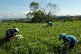 Petani Majene optimalkan lahan tidur