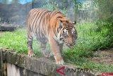 Harimau sumatera  terjerat akhirnya mati, setelah sempat dirawat 14 hari