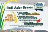 Beras Adan Krayan Diekspor ke Malaysia dan Brunei
