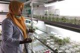 Yogyakarta sosialisasikan keunggulan bibit  pisang kultur jaringan