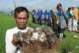 Begini cara petani di Pesisir Selatan basmi tikus
