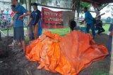 Kerbau Keraton Surakarta bernama Kiai Joko mati