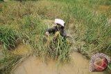 Asuransi padi perlu koordinasi dengan kelompok usaha tani