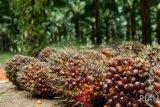 Produksi CPO Aceh Barat naik jadi 172.842 ton per tahun